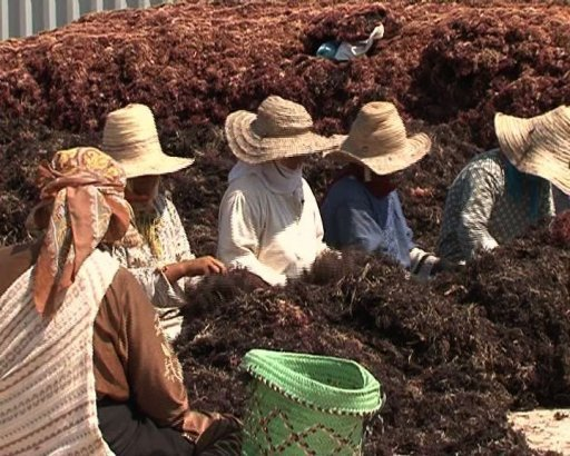 Algues rouges d 39 el jadida jusqu 39 safi for Algue rouge piscine